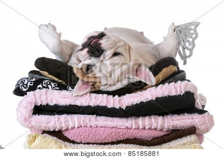 spoiled dog laying on a pile of soft dog beds isolated on white background - english bulldog