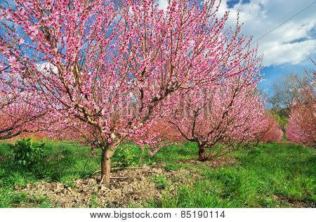 Spring garden. Blooming trees. Nature composition.
