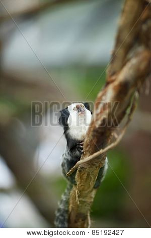 Close-up portrait of White-headed Marmoset sitting in a tree