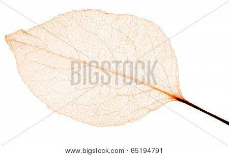 light orange leaf skeleton isolated on white background