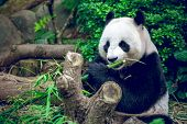 image of panda  - Hungry giant panda bear eating bamboo - JPG