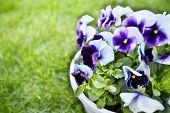 pic of viola  - Beautiful viola flowers in the garden - JPG