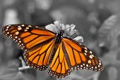 picture of zinnias  - Dorsal view of a female Monarch butterfly feeding on Zinnia flower - JPG