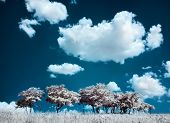 picture of irs  - Trees on the hill and cumulus clouds - JPG