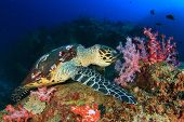 foto of hawksbill turtle  - Hawksbill Sea Turtle eating soft corals - JPG