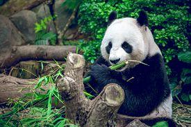 stock photo of panda  - Hungry giant panda bear eating bamboo - JPG