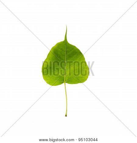 Green Leaf Pho Leaf, Bo Leaf, Isolated On White Background