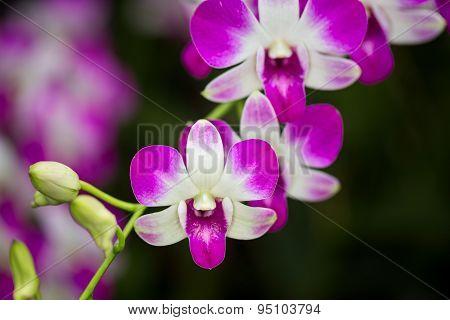 Denrobium Eastern Vigour Orchid Hubrid Flower