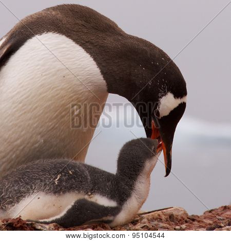 Gentoo Penguin Feeding the Young in Antarctica