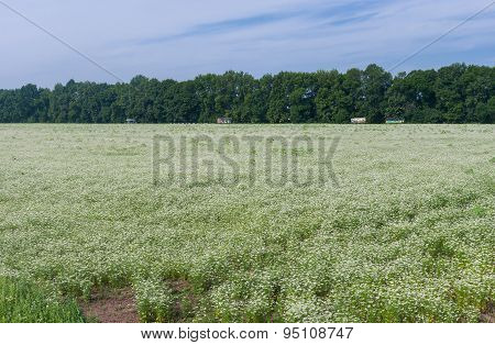 Field with blossoming coriander