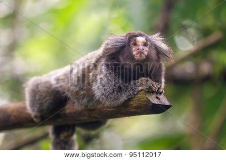 Common Marmoset Callithrix jacchus