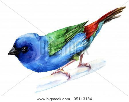 Forbes finch, watercolor painting. vector illustration