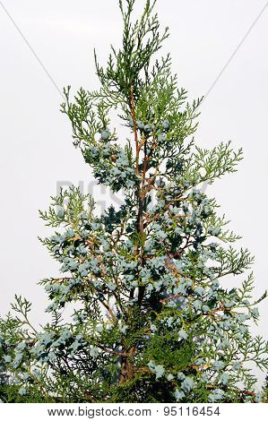 Thuja and cones