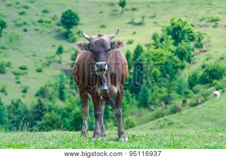 Curious dairy cow stand in her pasture. Dairy Cows. Farm background