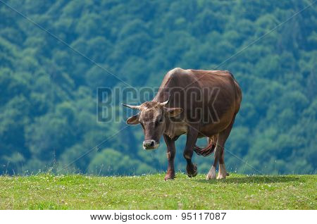 Cow on mountain pasture in the alps. Cows at summer pasture. Farm background