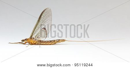 Common Burrower Mayfly