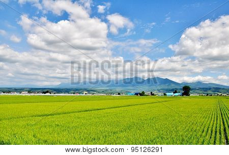 rice field, mountain and blue sky