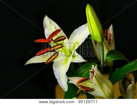 White Lily On Dark Background