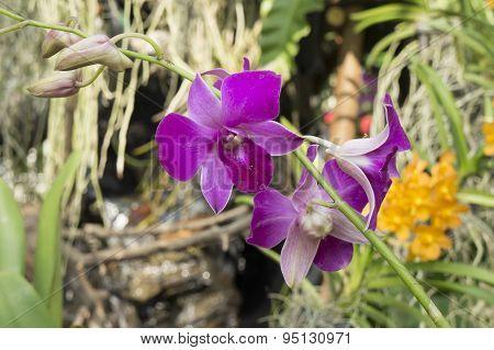 Purple Orchid, Phalaenopsis Hybrids