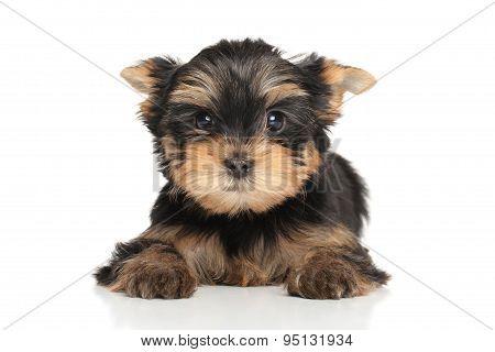 Scared York Puppy