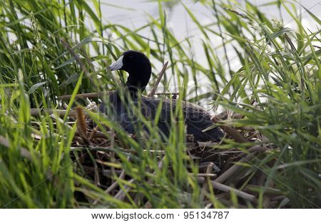 American Coot In Nest