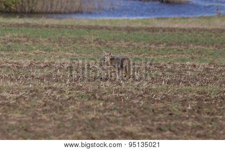 Coyote Standing In Field