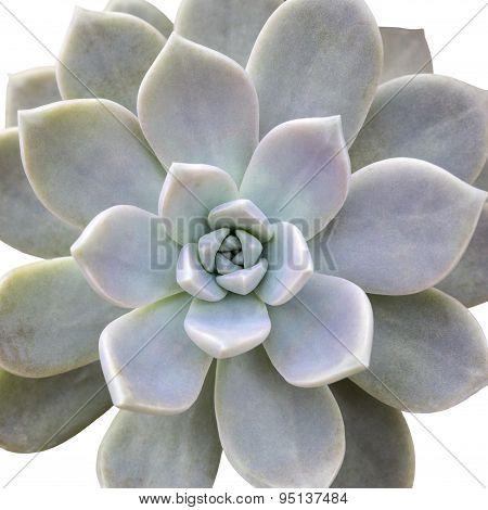 Aeonium diplocyclum plant isolated on white background