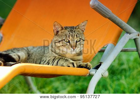 Tabby Cat On Sunbed