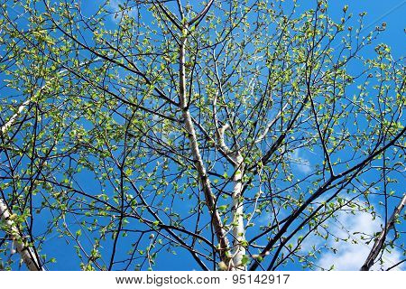 Crohn Dissolve The Birch