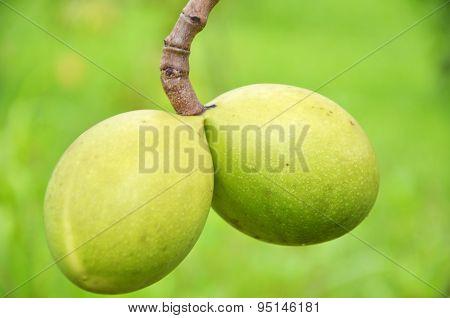 Cerbera Odollam Tropical Plant