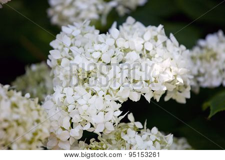 Smooth Hydrangea, Wild Hydrangea, Or Sevenbark (hydrangea Arborescens)