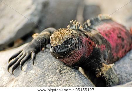 Galapagos Islands Iguana