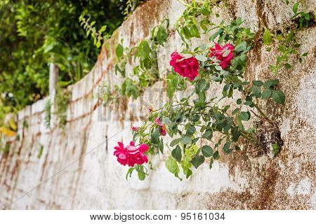 Stone facade with roses