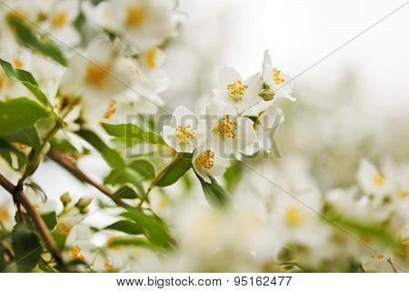 Large White Jasmine