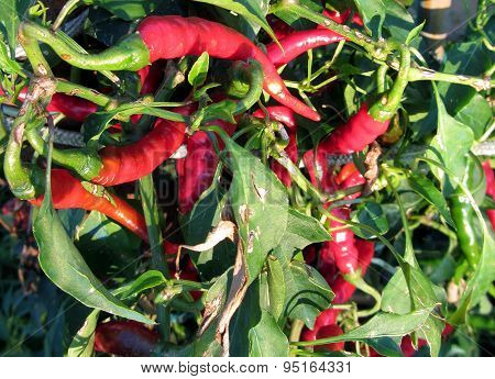 Red Chili Peppers Hanging On The Plant