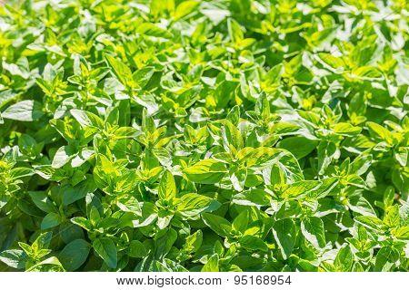 Fresh, Green Oregano Twigs Growing In Garden