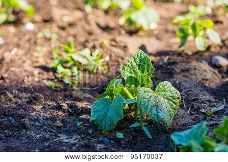 Cucumber Sprouts Growing In Ecologic Garden