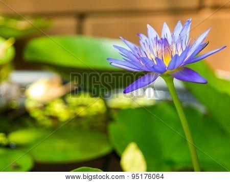 Indigo Purple Lotus In The Pond. Background Blur.