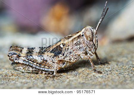 Small locust larvae