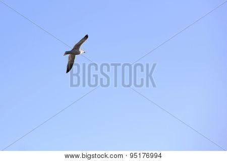 Seagull Soaring Over The Sea