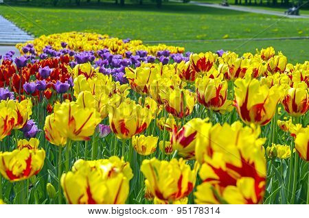 Blossoming Colorful Tulips.