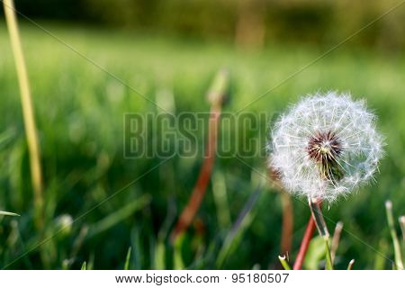 Dandelion With The Seeds