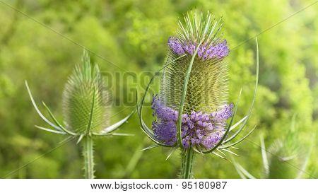 Dipsacus Caprifoliaceae. Teasel, Teazel or Teazle. Herbaceous biennial plants.