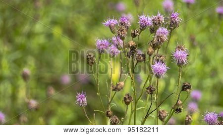 Canada Thistle. Purple Bloom Cluster.