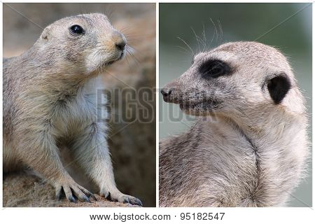 Prairie Dog And Suricate