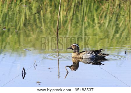 Garganey swimming in a pond.