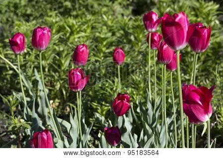 Beautiful crimson tulips