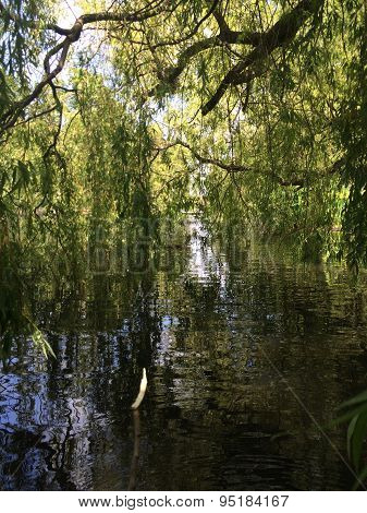 Willow tree with reflection