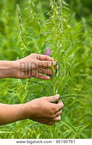 Women Hands Gathering Flowers Of Willow-herb (ivan-tea)