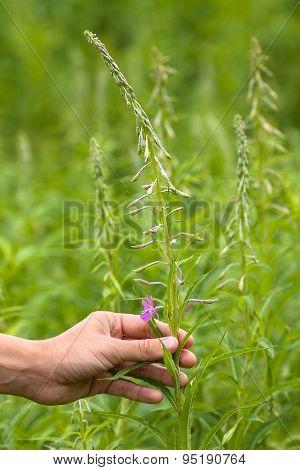 Women Hand Gathering Flowers Of Willow-herb (ivan-tea)